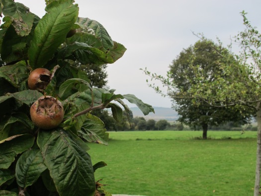 Monk's House, Rodmell, East Sussex. Mespilus germanica Common medlar