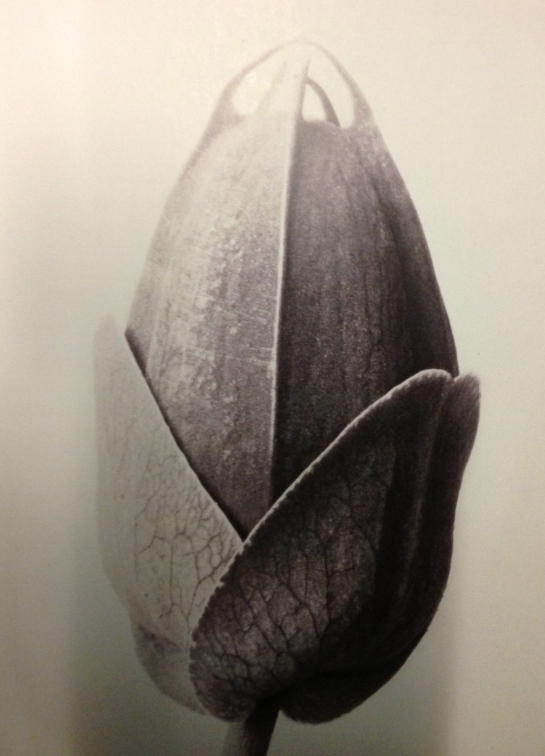 Photograph by Karl Blossfeldt 'Artforms in Nature'